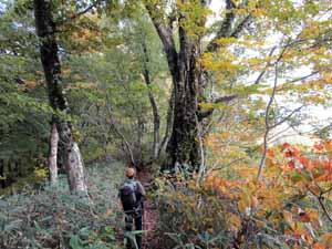 高倉森山頂近くのブナ林を歩く